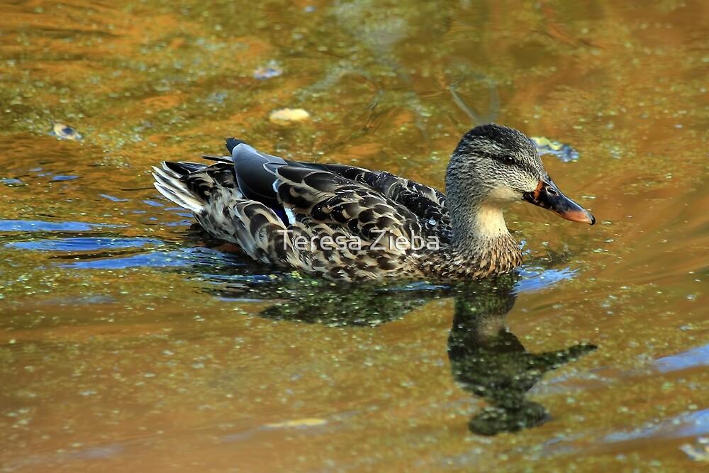 Mallard Duck by Teresa Zieba