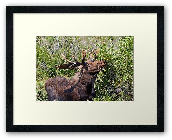 Bull Moose by Teresa Zieba