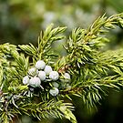 Juniper Berries by Teresa Zieba