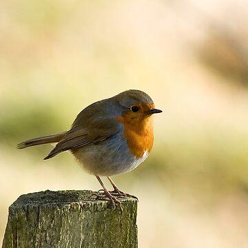 Robin by 1mjordan