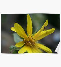 Sunflower Ft Little Spider Poster