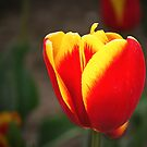 Colors of Spring 6 by Adri  Padmos