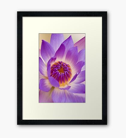 Shining Thru - purple waterlilly Framed Print