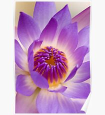 Shining Thru - purple waterlilly Poster
