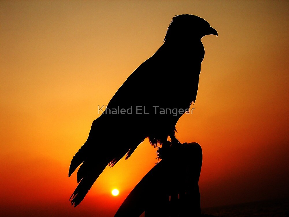 A FALCON WITH THE SUNSET by Khaled EL Tangeer