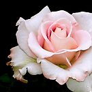 Delicately pink rose by Beth Brightman