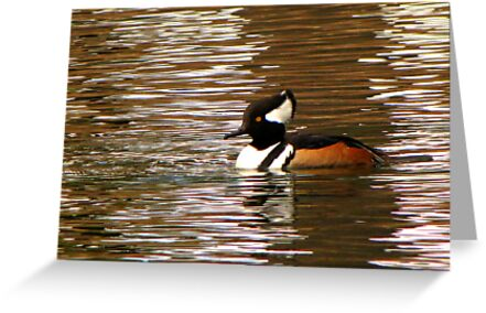 Hooded Merganser ~ Male by Kimberly Chadwick