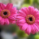 Hübsches Paar - Rosa Gerbera-Gänseblümchen (für Evita) von BlueMoonRose