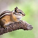 Chipmunk on a Branch by Kim Barton