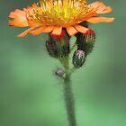 Orange Hawkweed -- Soft Afternoon Light by T.J. Martin