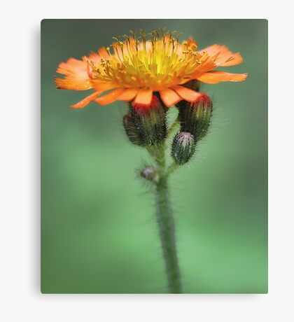 Orange Hawkweed -- Soft Afternoon Light Canvas Print