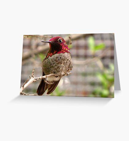 Anna's Hummingbird ~ Male Greeting Card