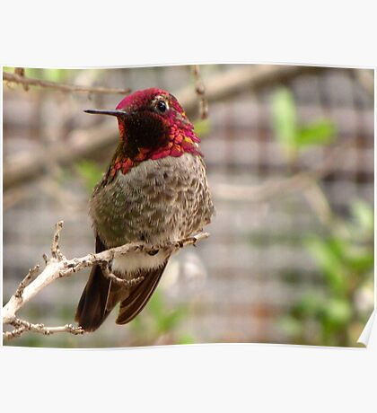Anna's Hummingbird ~ Male Poster