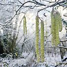icy catkins in winter woodland by brilliantbeings