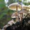 The Fungus Kingdom