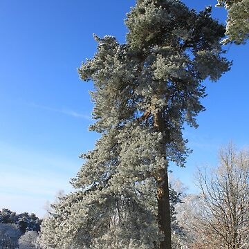 Trees of Longshaw by derbyshireduck