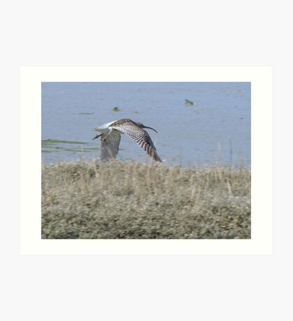 Curlew 04 Art Print