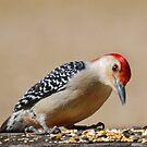 Male Redbellied Woodpecker by Pat Moore