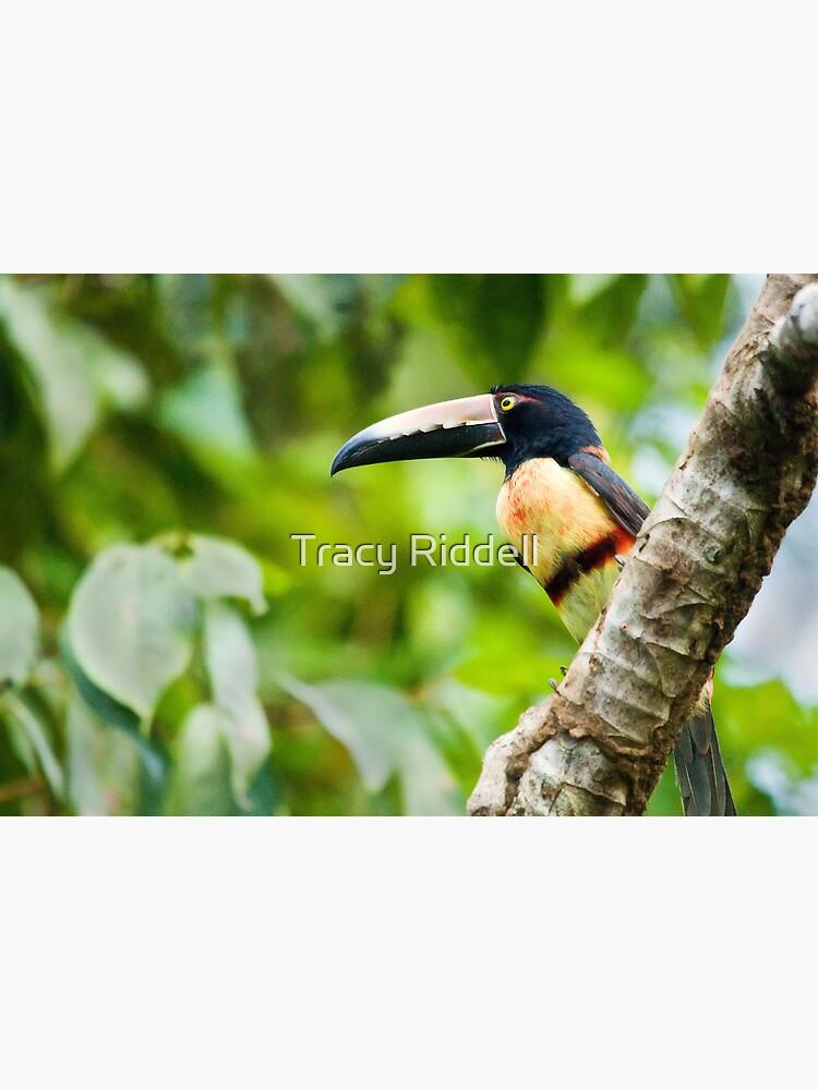 Collared Aracari Toucan by taos