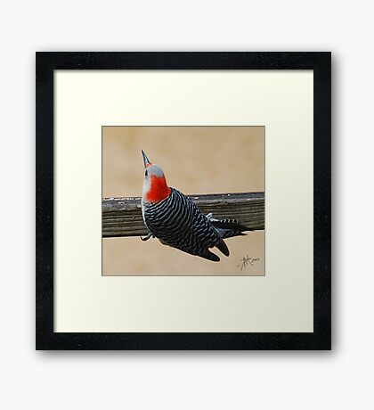 Female Rebellied Woodpecker Framed Print