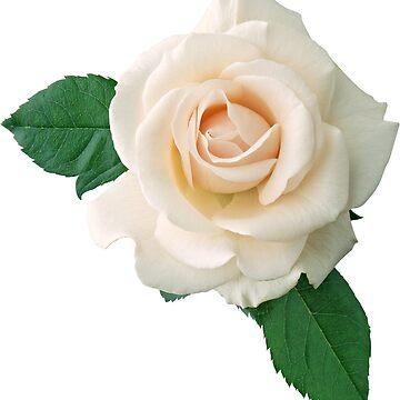 Suave rosa blanca de afremovartist