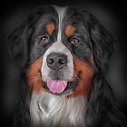 Bernese Mountain Dog by bonidog