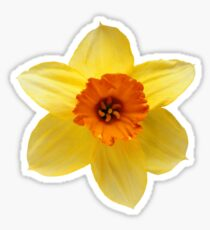 DAFFODIL FLOWER Sticker