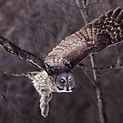 Dark Side Of  The Woods/ Great Gray Owl by Gary Fairhead