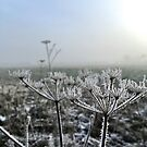 frosty winter cow parsley in field by brilliantbeings