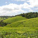 Kenyan Tea Fields by CriscoPhotos