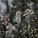 Blossom  by Nature Flicks