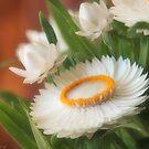 Helichrysum by Andrea Rapisarda