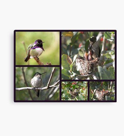 Costa's Hummingbird ~ Family Portrait Canvas Print