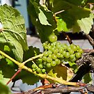 Grapes by Jaime Pharr