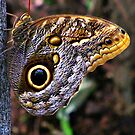 Caligo Butterfly by shutterbug2010