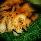 The Lion Sleeps Tonight by shutterbug2010