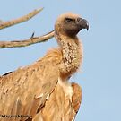 THE CAPE (Griffon)  VULTURE - Gyps coprotheres by Magriet Meintjes