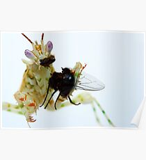 flower mantis eating Poster