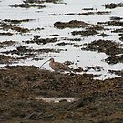 Curlew by Teuchter