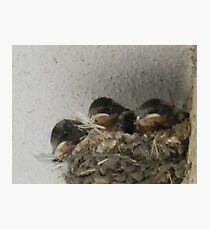 Barn Swallow Babies Photographic Print