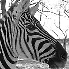 Zebra Profile by Susan Russell
