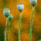 Study of Poppy Seed Pod #5 by Mukesh Srivastava