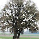 Oak Trees Jefferson, Oregon by Marylamb