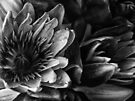 'Lillies in the Dark' by debsphotos