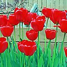 Vibrant Red Tulips by kkphoto1