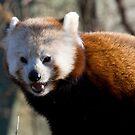 Red panda by Michael Hadfield