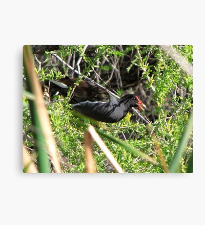Common Moorhen ~ In a Tree ☺ Canvas Print
