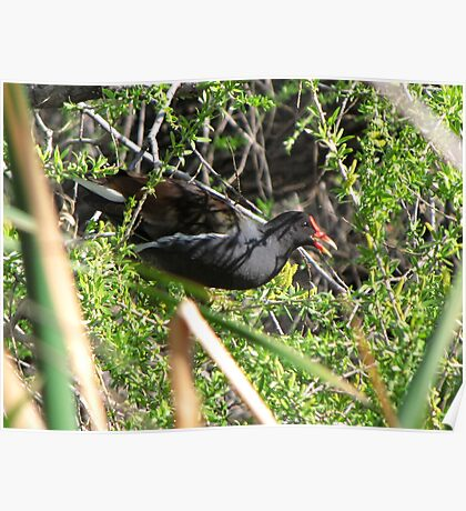 Common Moorhen ~ In a Tree ☺ Poster