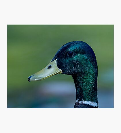 Male Mallard Photographic Print