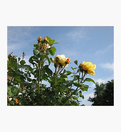 Yellow Roses and Blue Sky Photographic Print